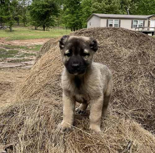 Male Gampr puppy Image 2