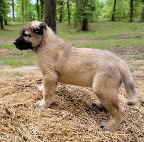 Male Gampr Puppy